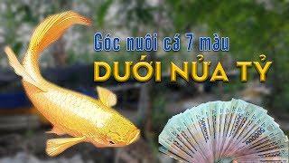 Khoe góc nuôi cá 7 màu trị giá dưới NỬA TỶ đồng của Nguyễn Phát