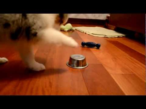 2 month old Australian Shepherd puppy plays with a dish pan :)