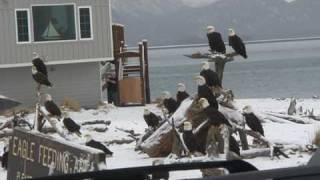Bald Eagles in Homer, Alaska