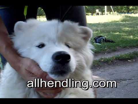 Хендлинг Урок 2 Как правильно показывать зубы http://www.allhendling.com