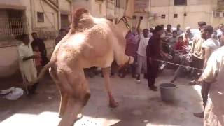 Best of All Camel Qurbani Video on Eid 2016 - See what happens at 6:12