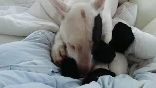 Uber cute adult Bull Terrier suckling on Ikea panda plushy.