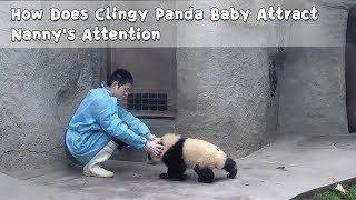 How Does Clingy Panda Baby Attract Nanny's Attention   iPanda