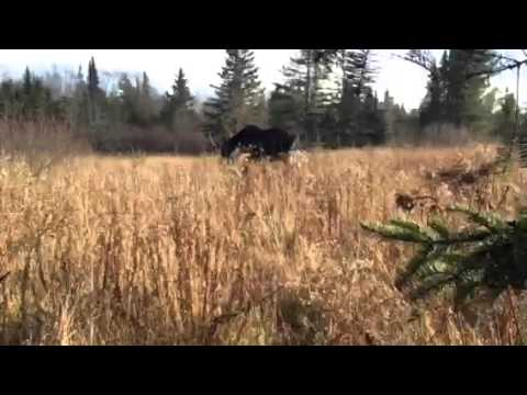 [Mature Maine Bull Moose Encounter at 5 Feet.] Video