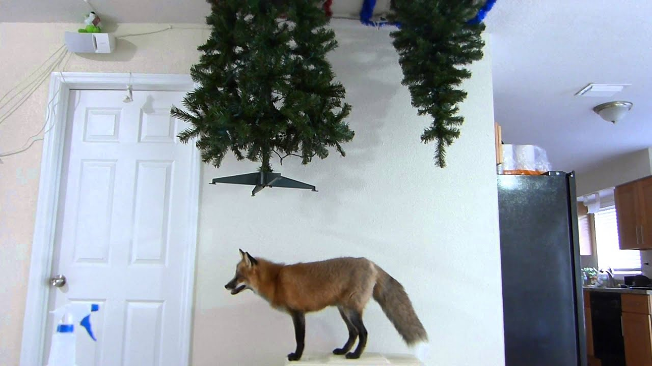 [Fox proof Christmas tree] Video