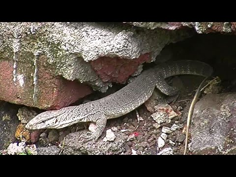 common indian monitor lizard Varanus bengalensis  Video by Shirishkumar Patil Amravati