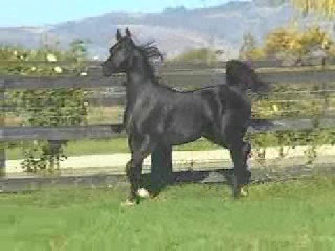 A very beautiful arabian horse youtube - Arabian horse pictures ...