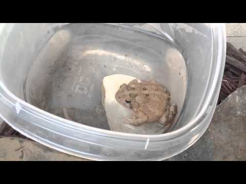 Toad video for nc nature news
