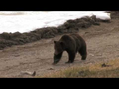 YELLOWSTONE BEARS AND PEOPLE