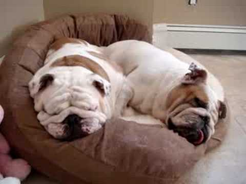 Two Snoring Bulldogs - Star and Petunia
