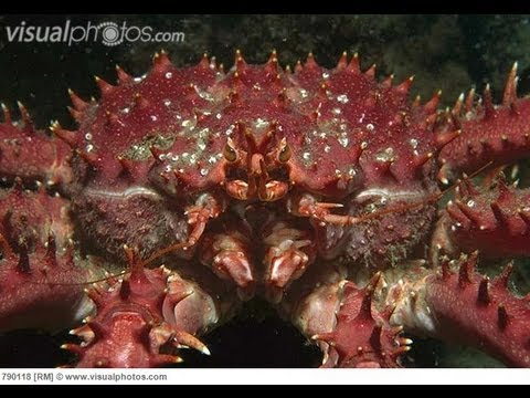 Giant King Crabs Giant King Crab Mobile