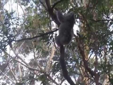 Koala Climbing Tree Part 1