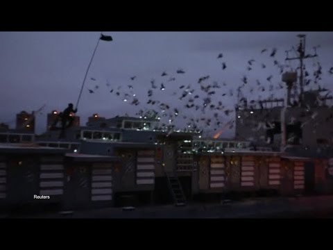 New York Pigeons Star in Live Art Installation