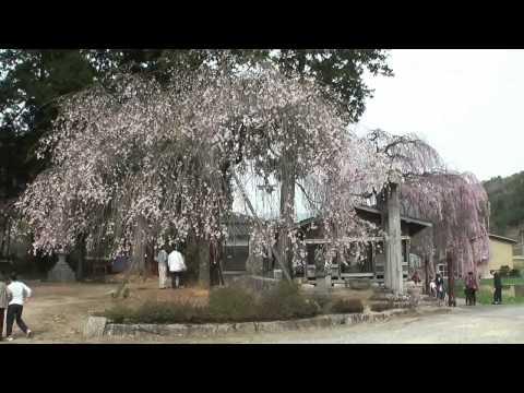 高山市 「千光寺・青屋神明神社・浅井神明神社」 ~枝垂れ桜~