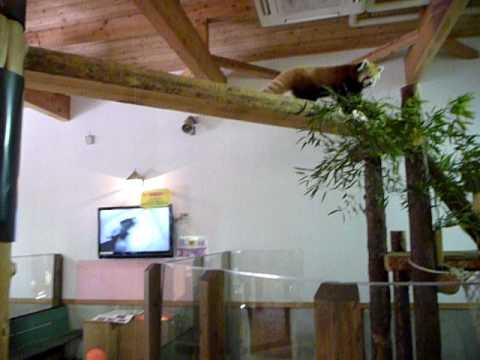 茶臼山動物園のレッサーパンダ♪