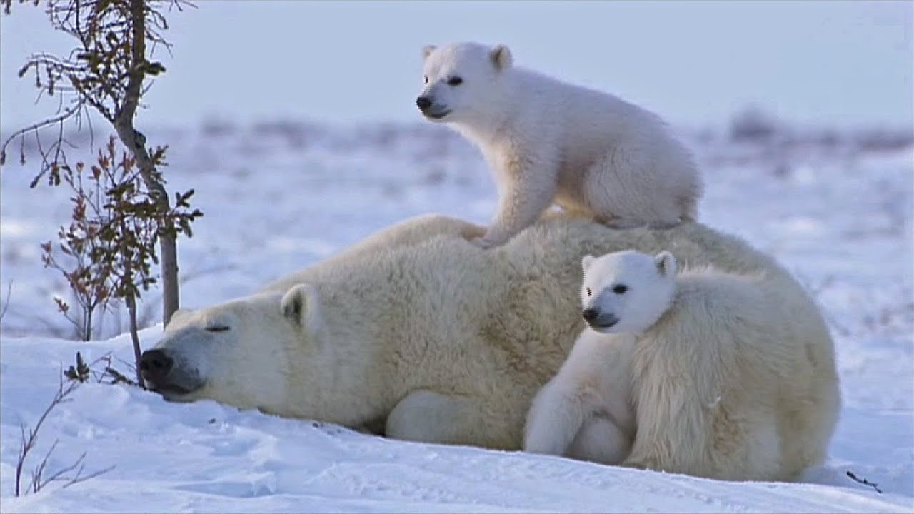 BBCs little white lie Polar bear cubs were filmed for