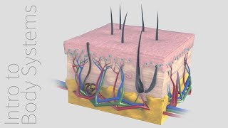 Introduction to the Integumentary System -- Animated Tutorial | Complete Anatomy
