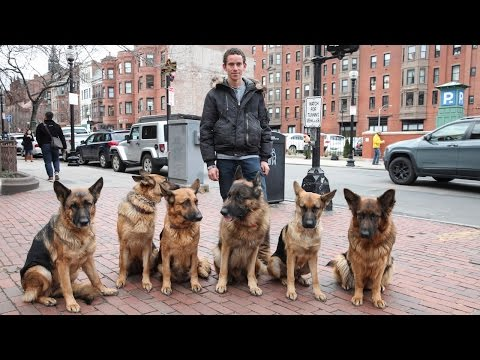 Dog Whisperer: Trainer Walks Pack Of Dogs Without A Leash video