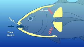 Let's find out: How do fish breathe underwater?