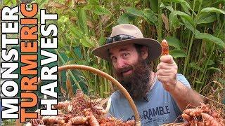 Monster Turmeric Harvest | How Does Turmeric Grow?
