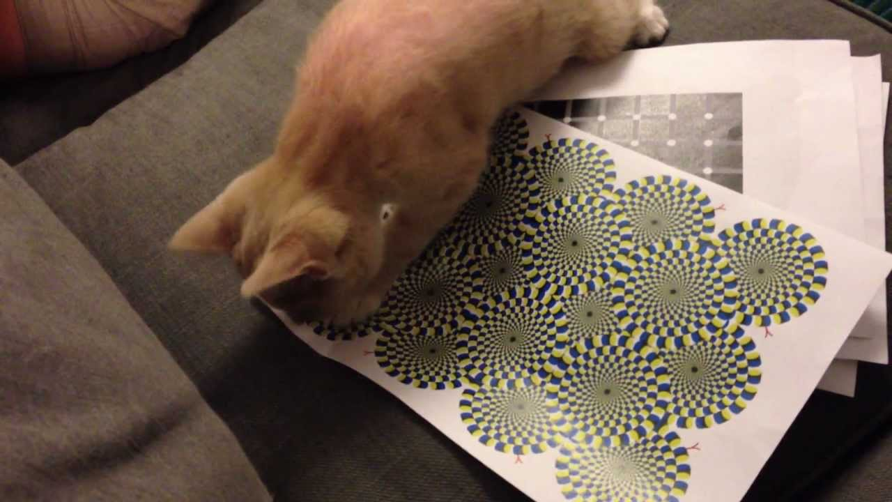 [Ever Seen The Rotating Snake Illusion?  This Cat Can, Too] Video