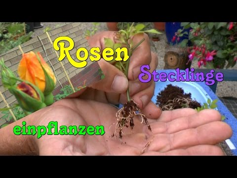Rosen Stecklinge Einpflanzen Roses Cuttings Planting