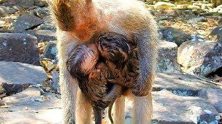 Pitiful Poor baby monkey David always try hug Mom Blacky with Barbi, What happen on feel Poor David?