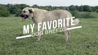 MY TEN FAVORITE DOG BREEDS