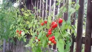 Выращивание томатов в бутылках 541
