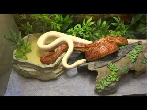 Corn Snake Sex video