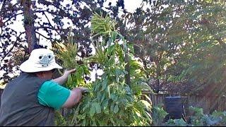 "Download Lagu Harvesting Protein Packed Amaranth Seeds | ""Golden Giant"" | Amaranthus cruentus Gratis STAFABAND"