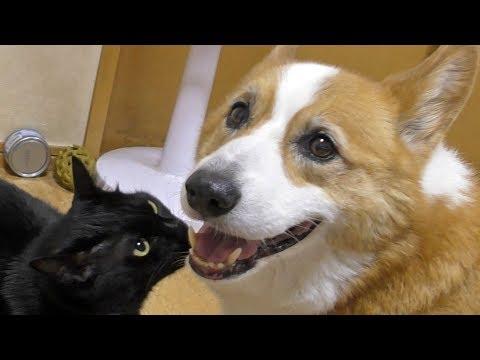 smiling Goro & Kuro / ゴローさんスマイルとクロさん 20180809 dog cat コーギー 犬 猫