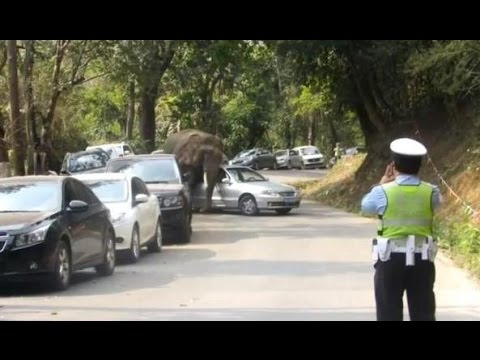 Wild Elephant Attacks Parked Cars In China