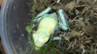 Unboxing Poison Dart Frogs, P. terribilis 'mint'