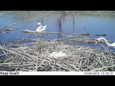 У гнезда лебедей