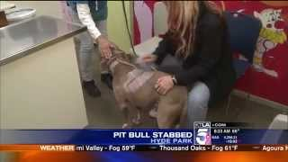 Pit Bull Gets 1,000 Stitches After Being Brutally Stabbed,