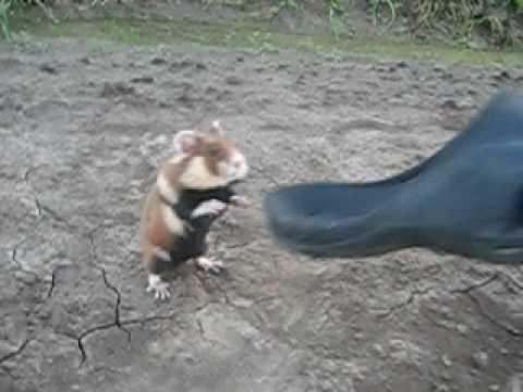 恐るべし戦闘能力!!野生のクロハラハムスターの攻撃力が凄まじい!