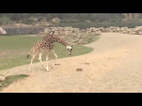 Giraffe Vs Bunny