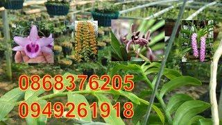 lan rung 22/7/2019 Khóm phi điệp và nhiều giò lan đẹp(0868376205_0949261918)
