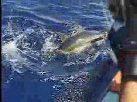 50 pound yellowfin tuna using (jigging) sistem