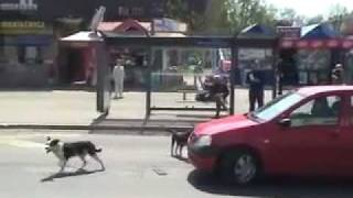 Dog vs Car! EPIC DOG WIN 2!!