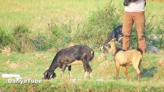 Funny Goats Find Successful With Funny Goat - Funny Baby Goat Compilation With Goat