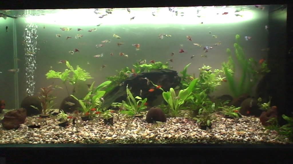 Ovovivipari tropicali d 39 acqua dolce in acquario youtube for Pesci tropicali acqua dolce