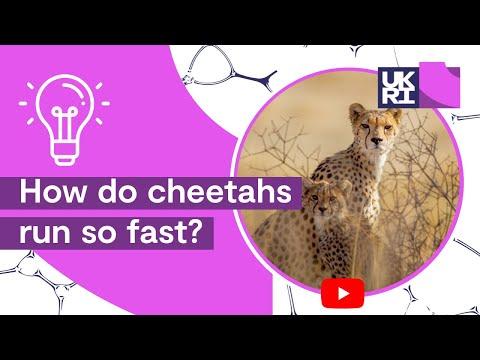 How Fast Do Cheetahs Run How do cheetahs...