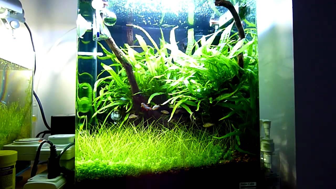 Nano planted tank with celestial pearl danio galaxy for Plante nano aquarium