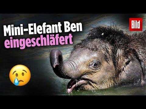 Plötzlich trank er nicht mehr: Baby-Elefant im Zoo Leipzig eingeschläfert