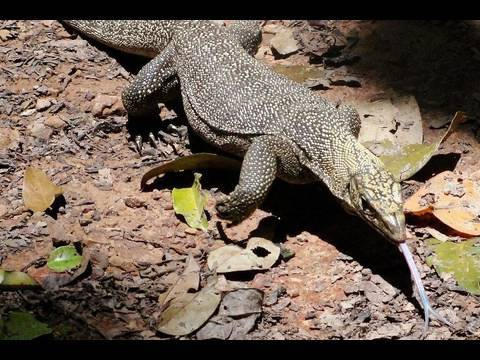 Lizards Eating Other Lizards Monitor Lizard Eating Snake in
