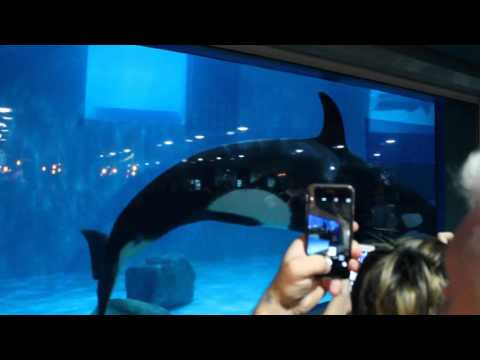 Orca in Moscow oceanarium Moskvarium at VDNKh