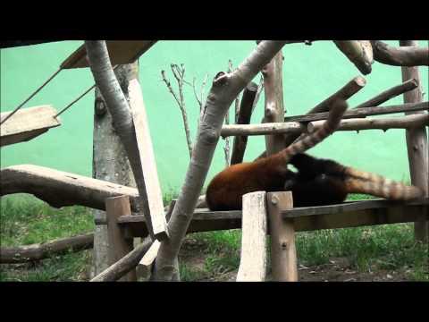 レッサーパンダ at 千葉市動物公園