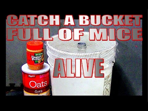Catch a bucket full of mice, alive!